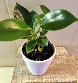 Cutest lil philodendron Birkin in 2 inch terra-cotta House Plant Rare Tropical Plant for Sale in Santa Rosa, CA
