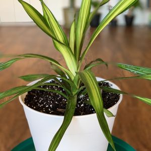Draceana Deco (price including delivery and pot) for Sale in Virginia Beach, VA