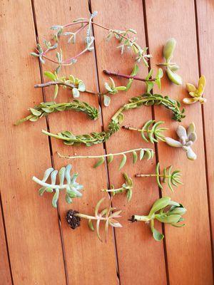 17 succulent cuttings for Sale in Brier, WA