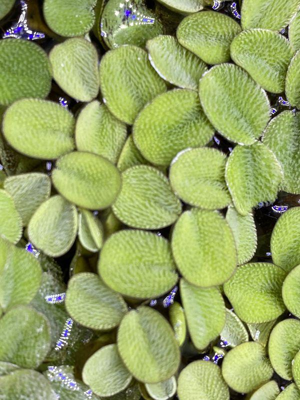 Floating Aquarium Plant