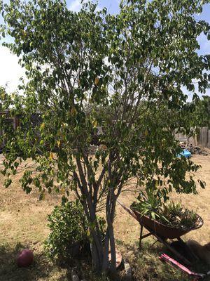Free ficus tree for Sale in Lemon Grove, CA