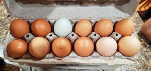 Fresh eggs, free range back yard chickens for Sale in Central Islip, NY