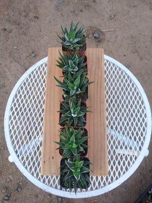 Zebra haworthia plants for Sale in San Marcos, CA