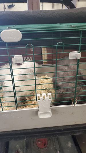 Silky Roosters 16 weeks old for Sale in Torrance, CA