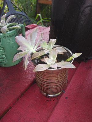 Silver vase w succulents for Sale in Tampa, FL