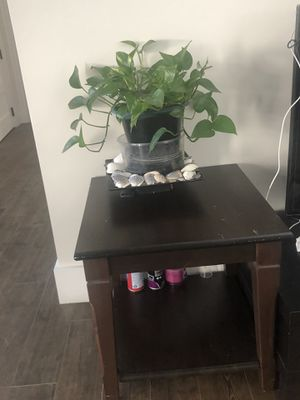 Original money plant with pot for Sale in Chelmsford, MA