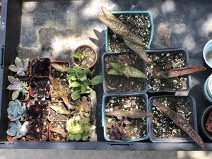 Mini succulents $1.5 each; Aloe Vera $2 each; Lily flower plant in mug $4 each; Lily in big pot $5 for Sale in Los Angeles, CA