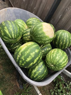 Local grown watermelons for Sale in Vancouver, WA