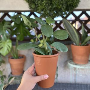 Hoya Obovata Plant (Terra-Cotta Planter Included) for Sale in Westminster, CA