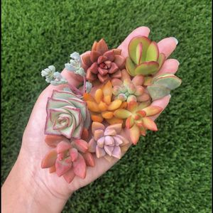 Set 10 Baby Succulent Cuttings for Sale in Lynwood, CA