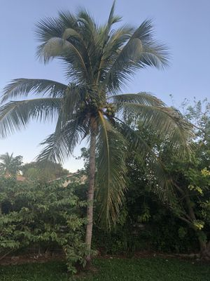 Coconut tree free for Sale in Homestead, FL