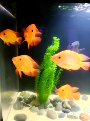Midas Cichlid Tropical Fish for Sale in Jensen Beach, FL