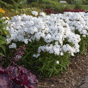 White Phlox Flower for Sale in Vancouver, WA