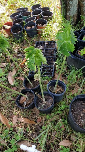 Papaya trees for Sale in NW PRT RCHY, FL