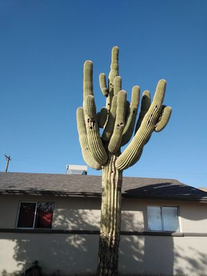 Cactus for Sale in Apache Junction, AZ