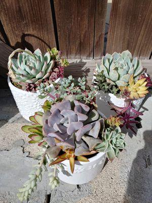 Succulent Arrangement Sale! This week only for Sale in La Puente, CA