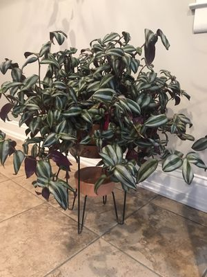Tradescantia zebrina (Inchplant or Wandering Jew Plant) for Sale in Berwyn Heights, MD