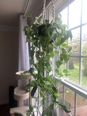 Pothos plants for Sale in Vienna, VA