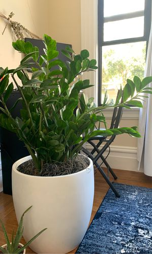 Large real indoor plant for Sale in San Francisco, CA