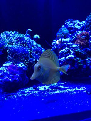 Two large yellow tang yellow tangs for Sale in Rockville, MD