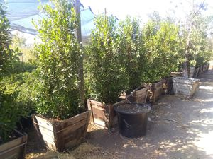 24in Ficus Trees for Sale for Sale in Perris, CA