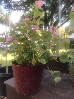 🌸 Beautiful Begonia Plants 🌱 🌸 for Sale in Dallas, TX