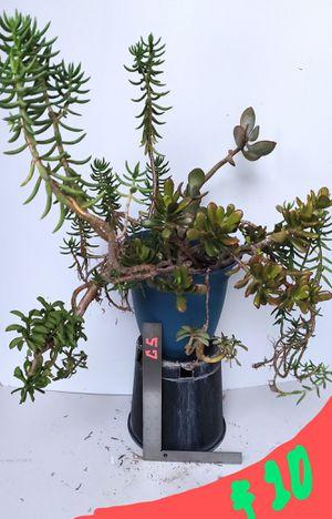 Succulent Plant Assortment for Sale in Orange, CA