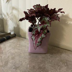 Rex Begonias Plant for Sale in Beaverton, OR