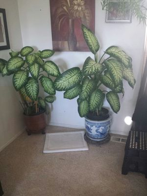 Big Plants for Sale in Aurora, CO