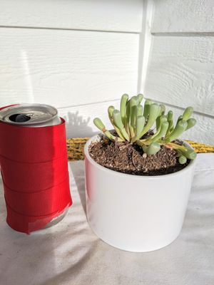 Baby Toe Succulent Plants in Ceramic Planter Pot-Real Indoor House Plant for Sale in Auburn, WA