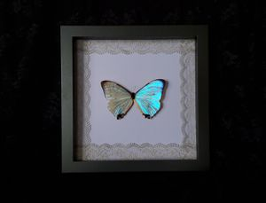 Real Purple/Pink Sulkowski Morpho Butterfly/ Lace Border / Home Decor / Oddities for Sale in Riverside, CA