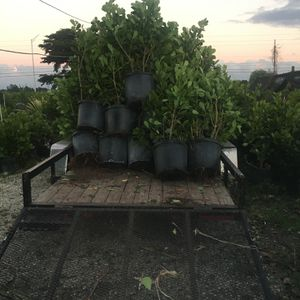 Clusia Plants 7 Gallon $17 , 15 gallon $35 for Sale in Fort Lauderdale, FL