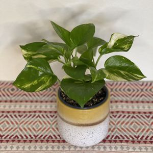 Golden Pothos for Sale in Los Angeles, CA