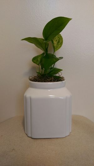 Air Cleaning Vine Plant In Pretty White Ceramic Container for Sale in Virginia Beach, VA