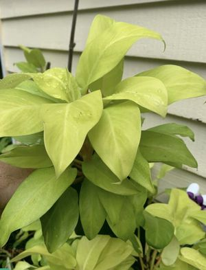 Philodendron lemon lime $10 for Sale in Richmond, VA