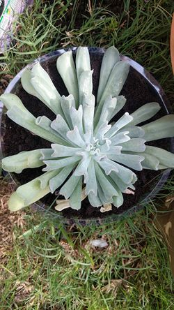 Succulent for Sale in Winter Haven,  FL