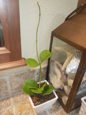 Hoya Kerrii, Hoya Sweetheart with a peduncle (where it flowers) , in a 5 in. White Pot for Sale in Hacienda Heights, CA