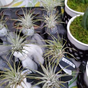 Angel Succulent for Sale in Ontario, CA