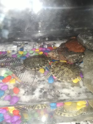 Water turtles for Sale in Moreno Valley, CA