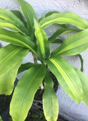 Corn Plant for Sale in Kissimmee, FL