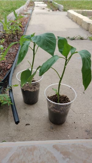 Free tomato and pepper plants! for Sale in Lutz, FL