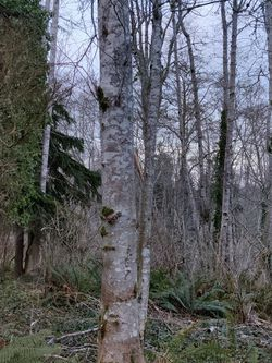 Alder Timber (Peeler Grade) For Sale for Sale in Aberdeen,  WA