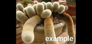 Mammillaria spinossisima pilcayensis (Bristle Brush Cactus) for Sale in Norco, CA
