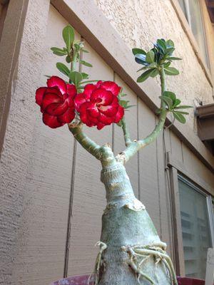 Desert Rose Aster for Sale in Irwindale, CA