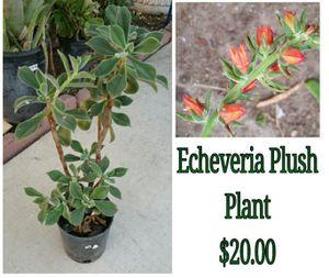 Echeveria plush plant for Sale in Hacienda Heights, CA