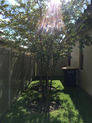 Three free trees for Sale in Saint Petersburg, FL