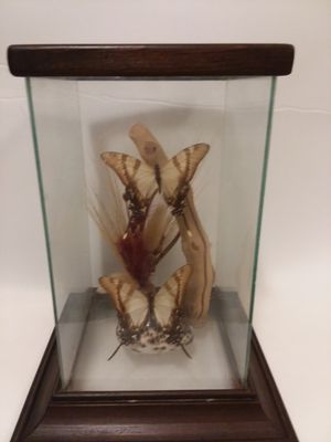 Vintage taxidermy butterflies in glass case for Sale in Orlando, FL