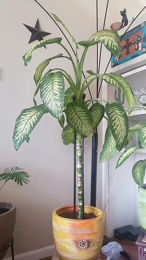 Real Plants 6ft 7in tall tree for Sale in Denver, CO