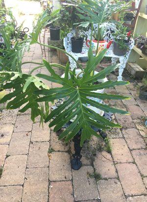 Split Leaf Philadendron for Sale in Poinciana, FL