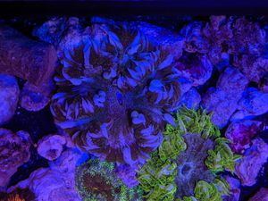 Rock flower Anemones saltwater corals fish tank decorations for Sale in Lomita, CA